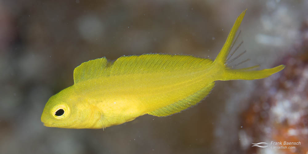 Juvenile canary blenny (Meiacanthus oualanensis) in Fiji.