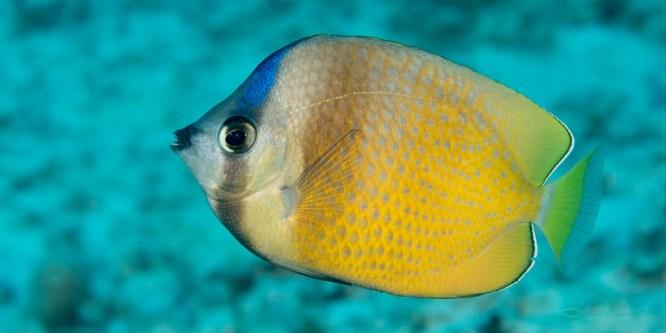 C. kleinii adult