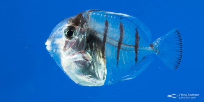 Convict Surgeonfish Larval Rearing