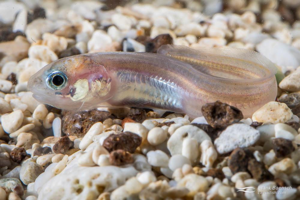 cusk eel juvenile