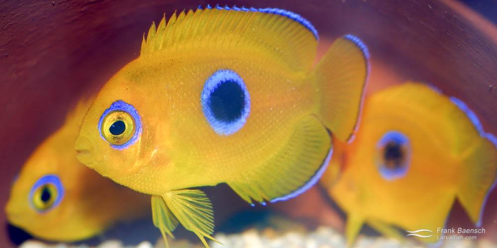 80-day-old lemonpeel angelfish juveniles in hiding.