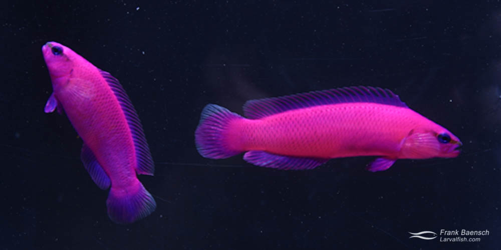 Orchid dottyback pair