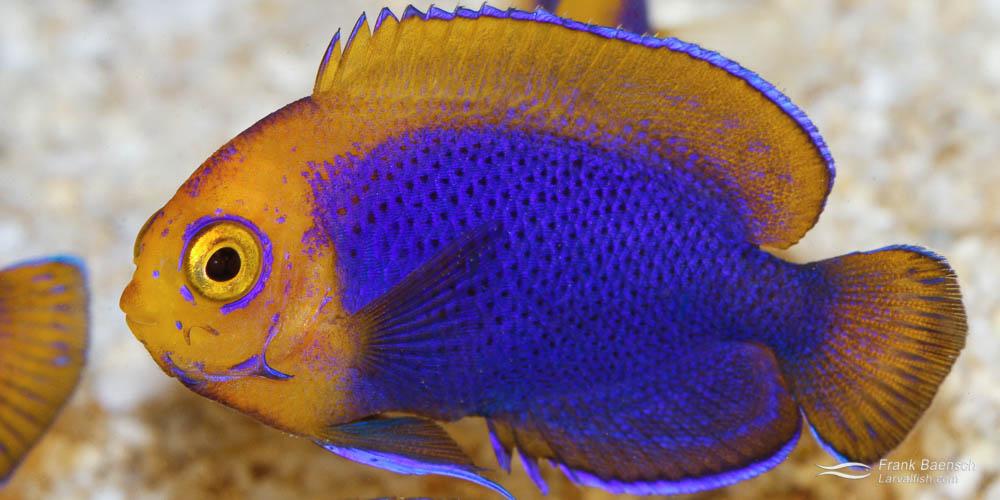 Resplendent cherubfish juvenile, 200 dph.