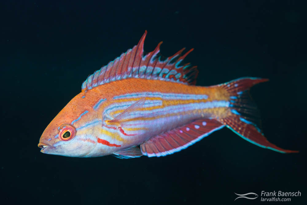 A male Filamented flasher wrasse (Paracheilinus filamentosus) flaring its fins and intensifying in color to attract females.