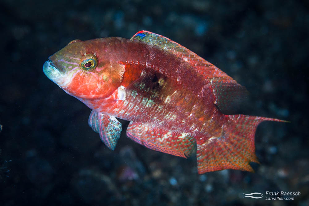 Two-spot wrasse ( Oxycheilinus  bimaculatus) male (Indonesia).