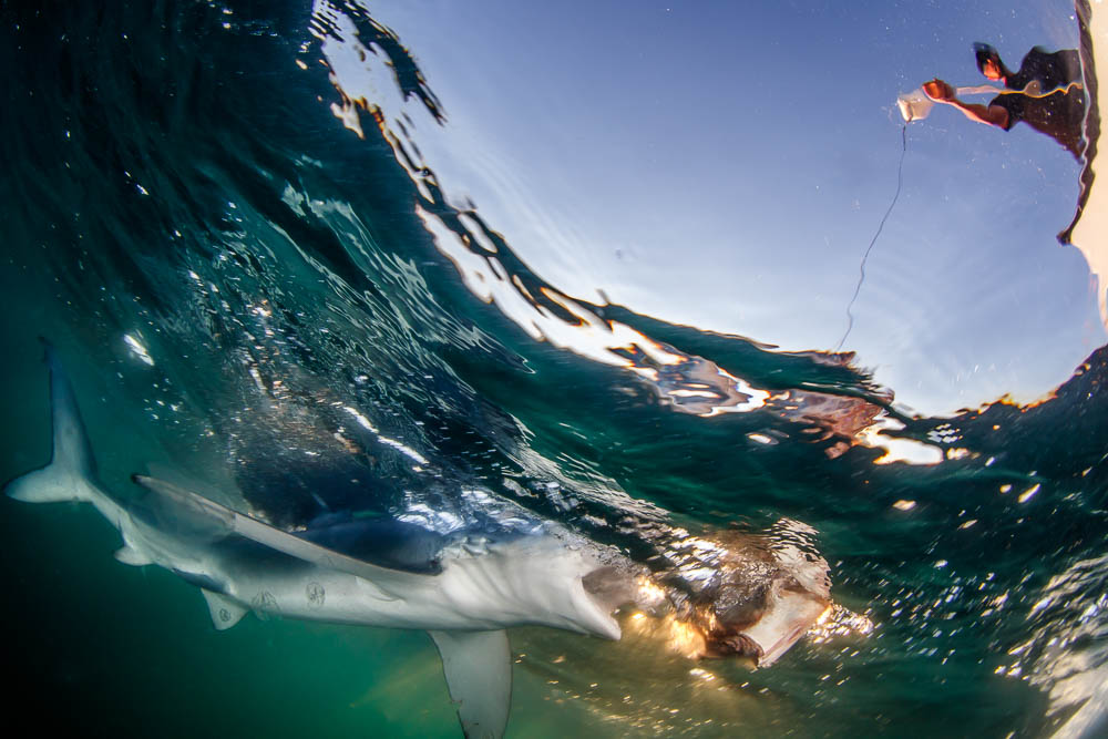 Baiting a blue shark (Prionace glauca) chasing bait.