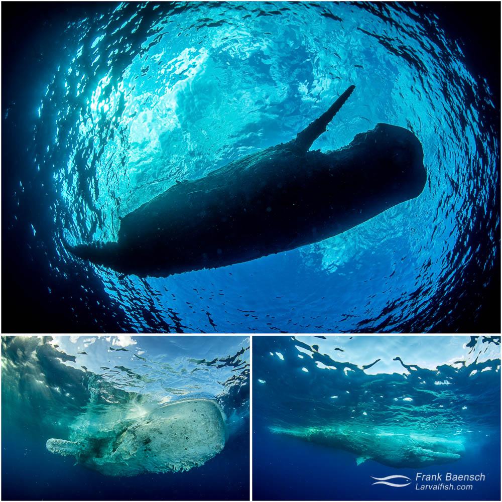 Sperm whale (Physeter macrocephalus) carcass floating in coastal waters off Oahu, Hawaii.