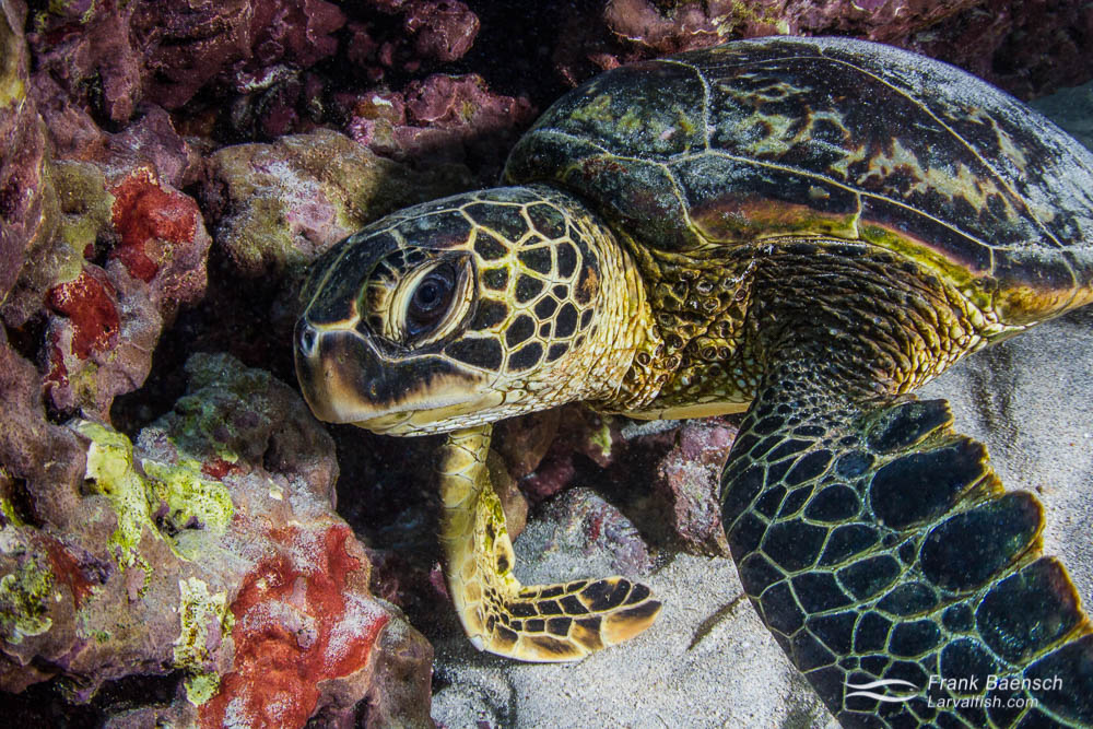 Green sea turtle (Chelonia mydas) resting inside a cave. Hawaii.