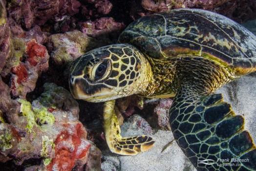 Green sea turtle (Chelonia mydas) resting inside a cave.