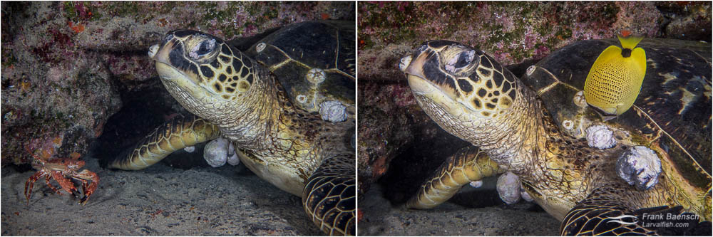 Green sea turtle with fibropapillomatosis.