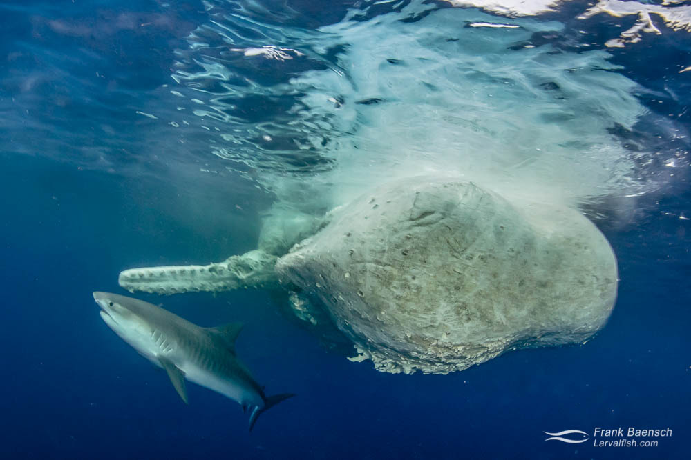 A tiger shark (Galeocerdo cuvier) underneath a sperm whale carcass in waters off Oahu