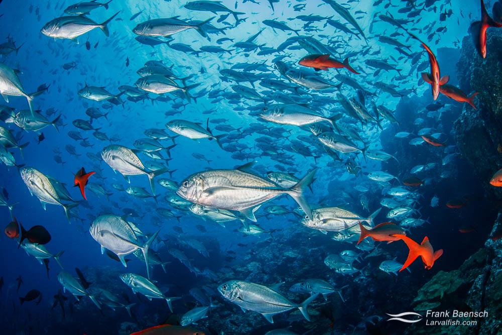 Bigeye trevally (Caranx sexfasciatus) and Pacific creolefish (Paranthias colonus) schooling up close. Cocos Island. Costa Rica.