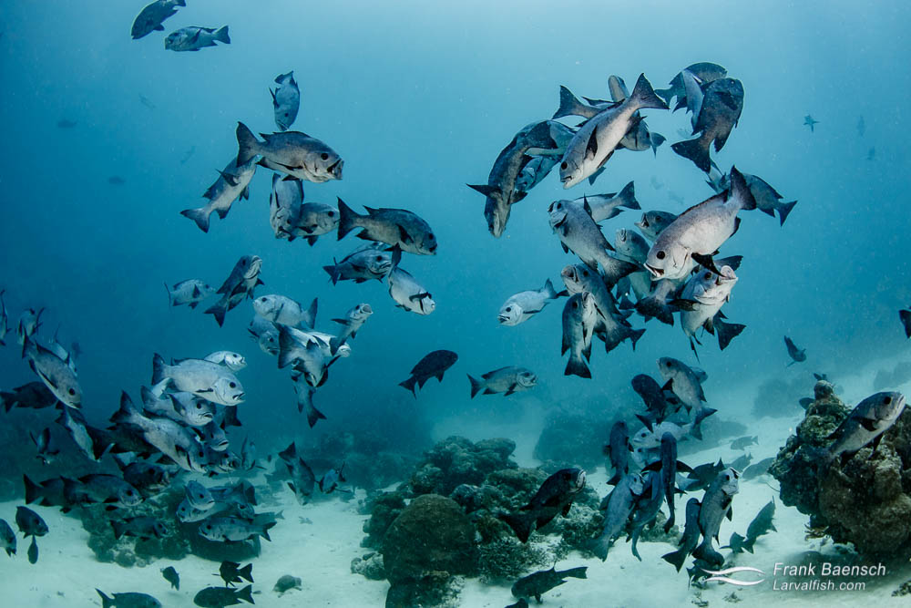 Black snappers (Macolor niger) feeding on plankton in Palau.