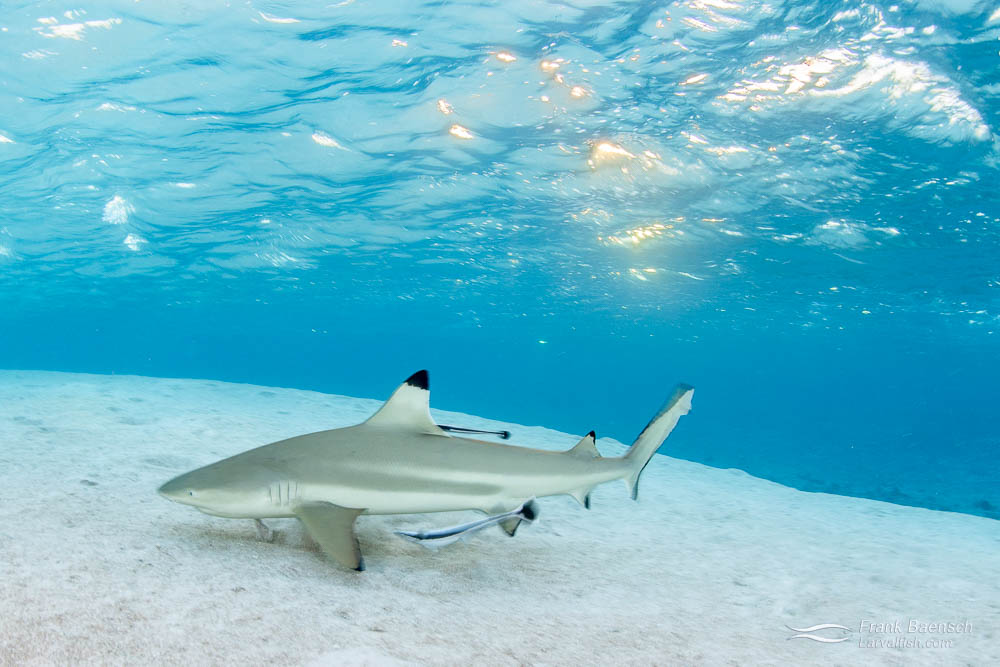 Blacktip reef shark (Carcharhinus melanopterus) hunt on the sand at sunset. French Polynesia.