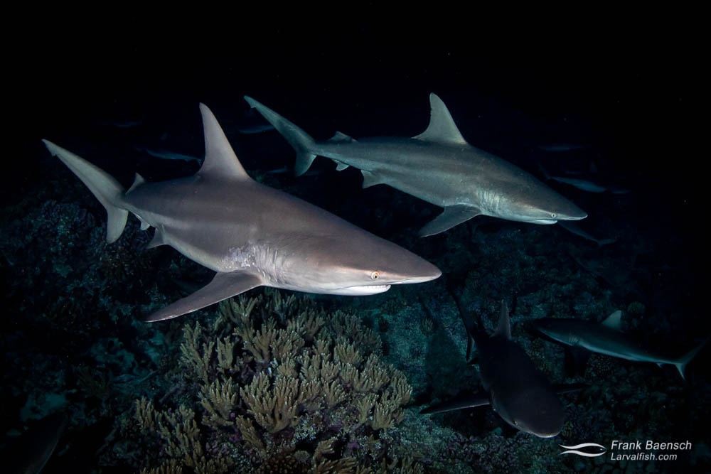 Blacktip sharks (Carcharhinus limbatus) hunting at night in Fakarava South Pass (Tetamanu Pass), French Polynesia.
