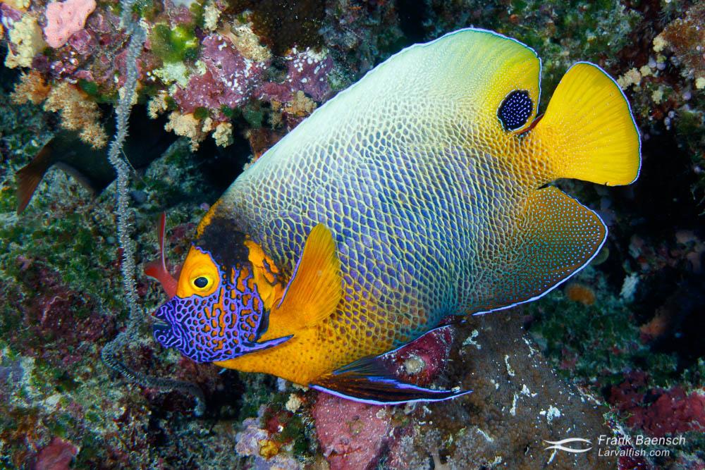 Blue-girdled angelfish (Pomacanthus navarchus). Palau.
