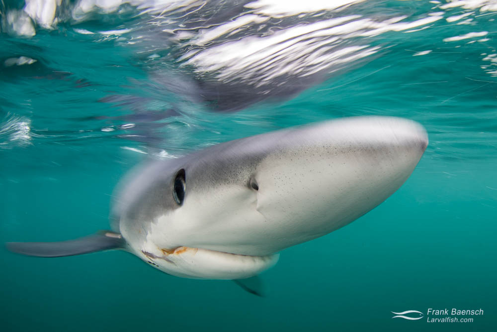 Head on shot of a blue shark (Prionace glauca) on the surface. Rhode Island.