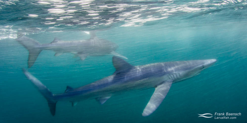 Motion blur of two blue sharks (Prionace glauca) on the surface off New England.