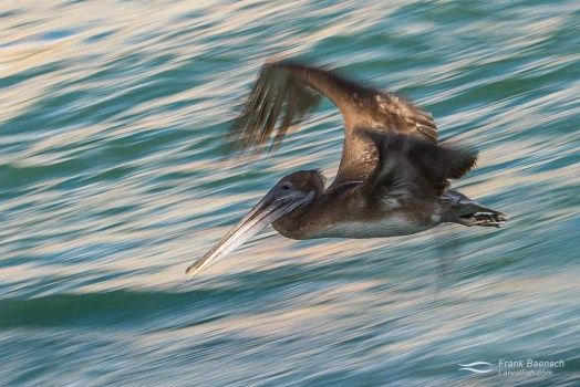 A brown pelican (Pelecanus occidentalis) flying over water in the late afternoon.