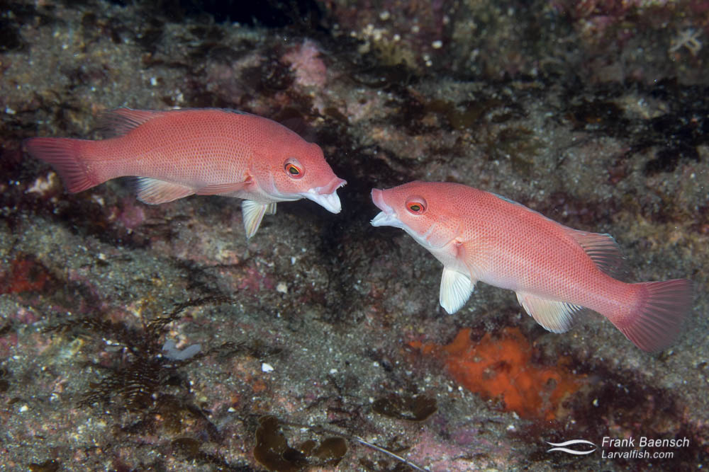 "Two juvenile California sheepheads (Semicossyphus pulchermales) ""mouth fighting"" over territory. California."