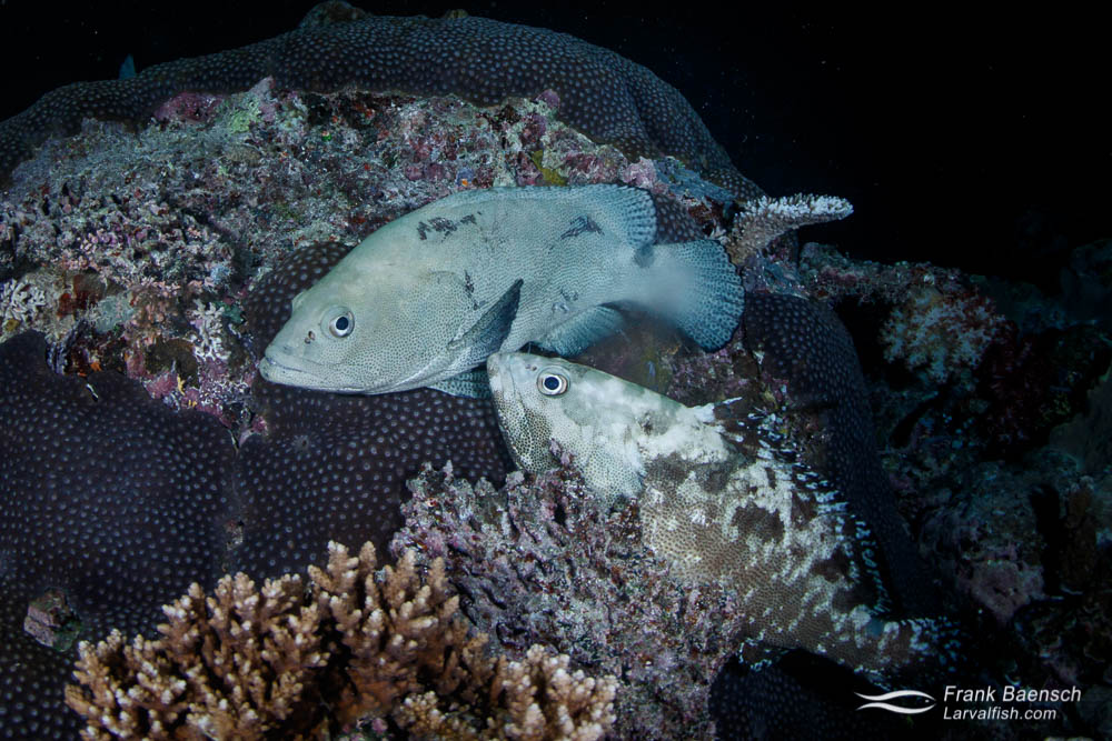 A pair of camouflage groupers (Epinephelus polyphekadion) moments before spawning on a reef at night in Palau.