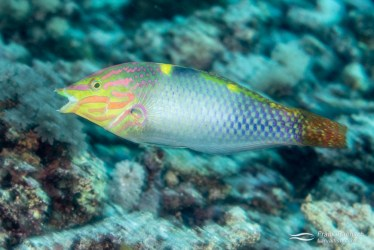 A checkerboard wrasse (Halichoeres hortulanu) races across the reef.