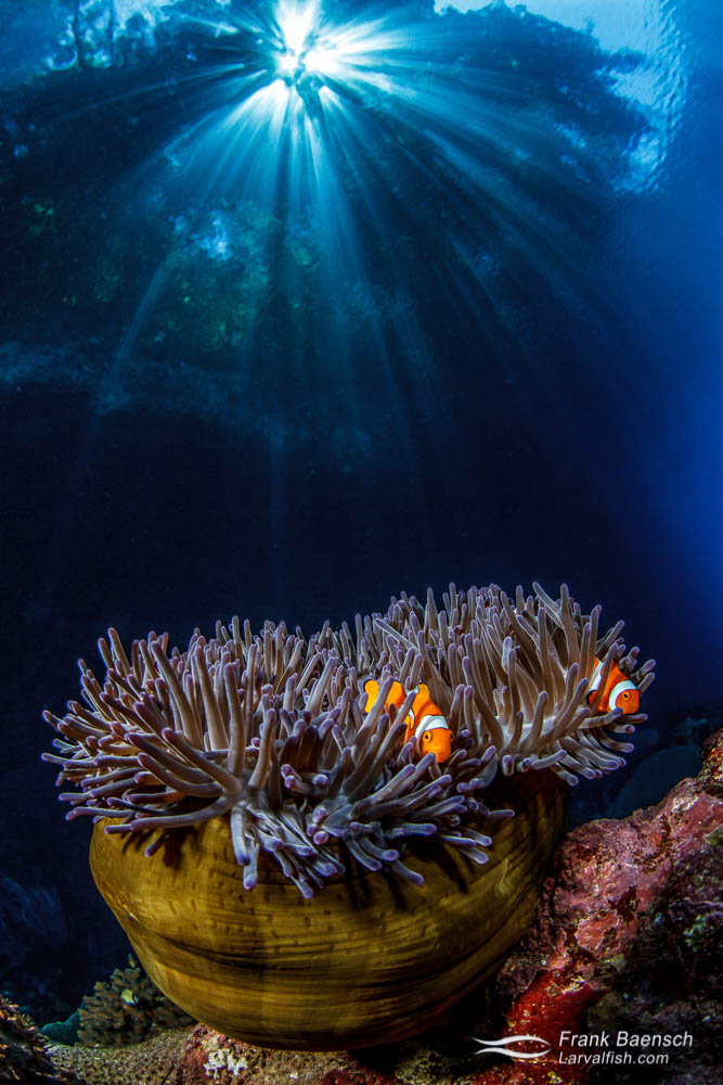 Sunrays rain down above clownfish in anemone. Papua New Guinea.