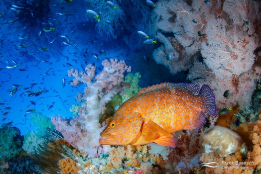 Don't mess with my reef! A coral grouper (Cephalopholis miniata) in his soft coral garden.