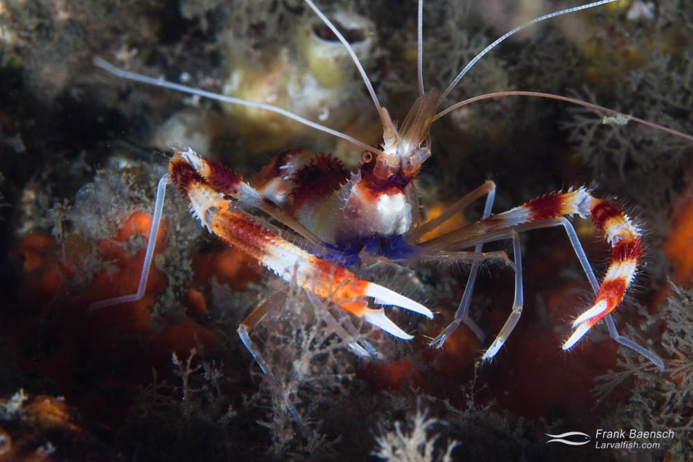 A banded coral shrimp (Stenopus hispidus) in the Bahamas.