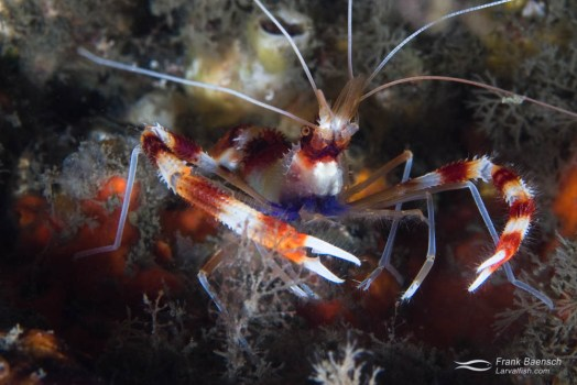 A banded coral shrimp (Stenopus hispidus) it the Bahamas.