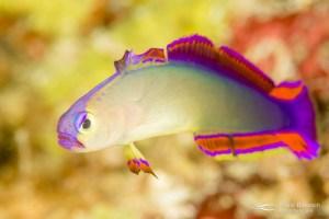Decorated dartfish (Nemateleotris decora). Papua New Guinea.