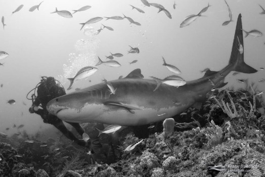 Diver holds off a huge and pregant tiger shark (Galeocerdo cuvier) with his camera.