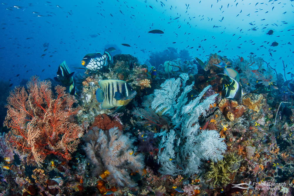 Six-banded angelfish, clown triggerfish, moorish idols feed among softcorals in Raja Ampat, Indonesia.