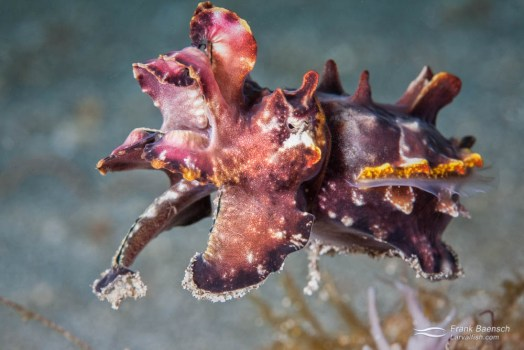 A flamboyant cuttlefish (Metasepia pfefferi) lifts off from the muck in search of food.