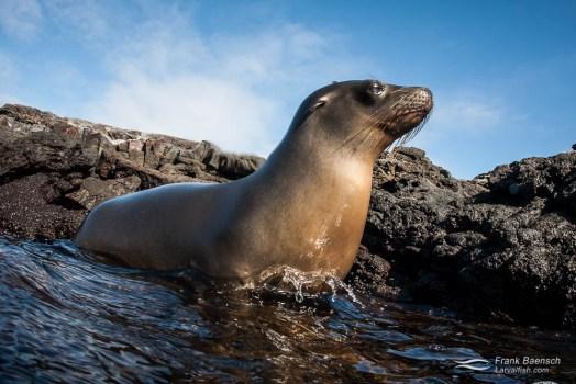 Galapagos sea lion (Zalophus wollebaeki).