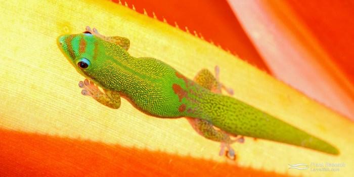 Gold-dust day Gecko (Phelsuma laticauda) on a bromeliad leaf.