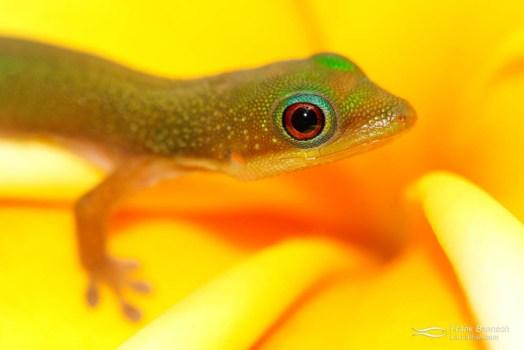 Baby gold -dust day gecko (Phelsuma laticauda) on a plumeria flower.