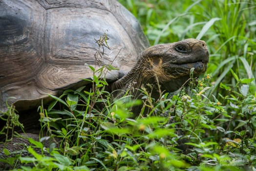 Galapagos giant tortoise (Geochelone nigra).
