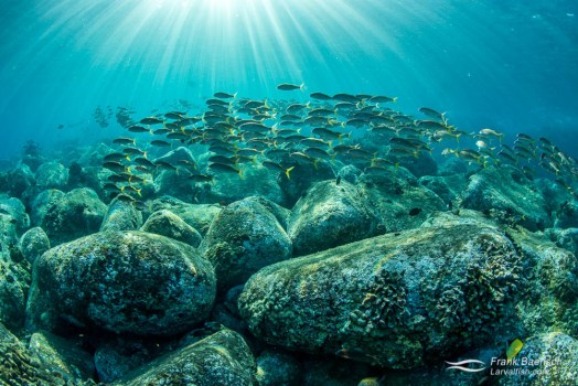 Goatfishes schooling above bolders at sunrise off the Big Islands of Hawaii.