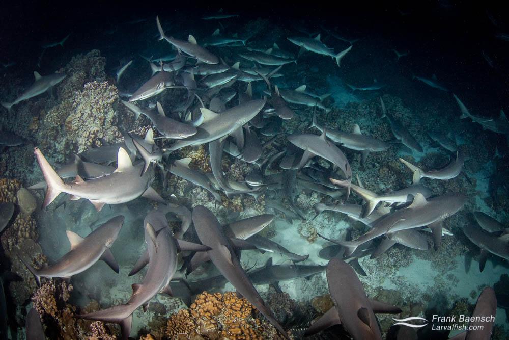 Massive congregation of hunting gray reef sharks (Carcharhinus amblyrhynchos) at night in Fakarava South Pass (Tetamanu Pass), French Polynesia.