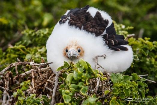 Great Frigatebird (Fregata minor) chick.