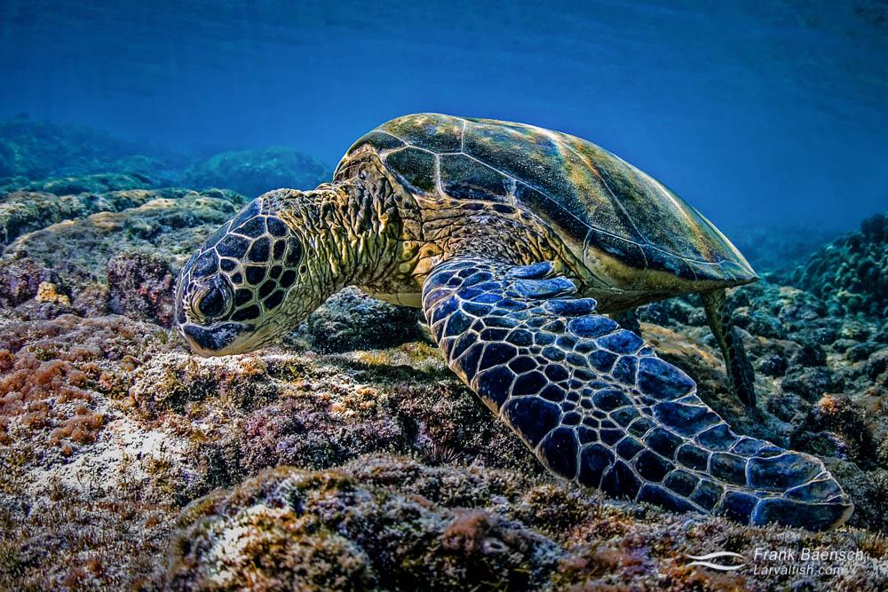 Green turtle (Chelonia mydas) feeding on algae in shallow waters. Hawaii.