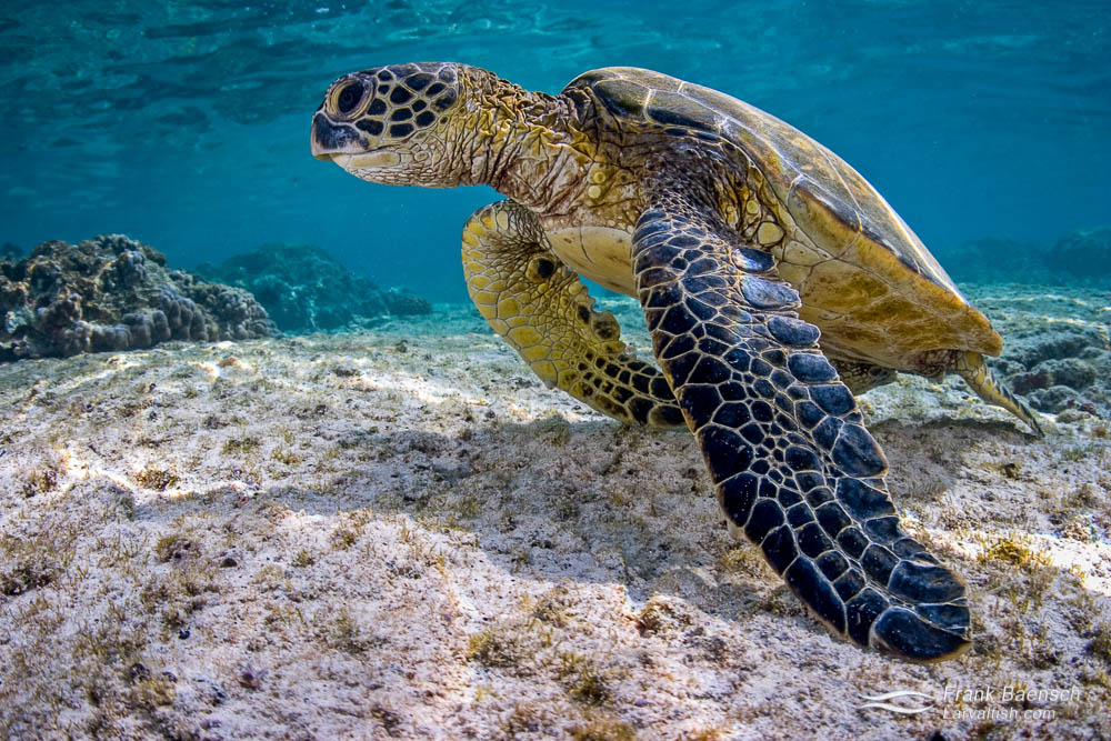 Green sea turtle (Chelonia mydas) perks up on shallow, rocky bottom after feeding on algae. Hawaii.