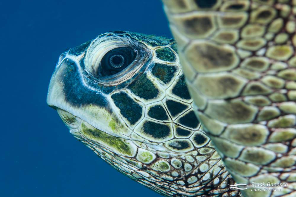 Head shot of green sea turtle. Hawaii.