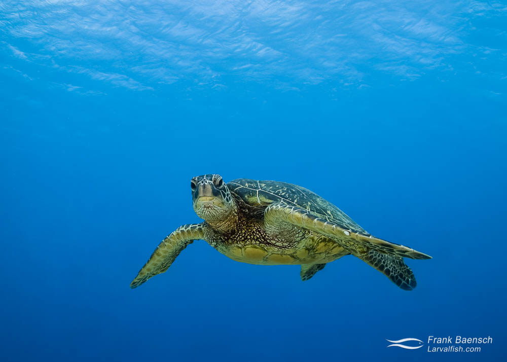 Green sea turtle  stares at the camera. Hawaii.