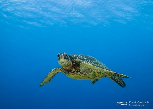 Green sea turtle  stares at the camera.