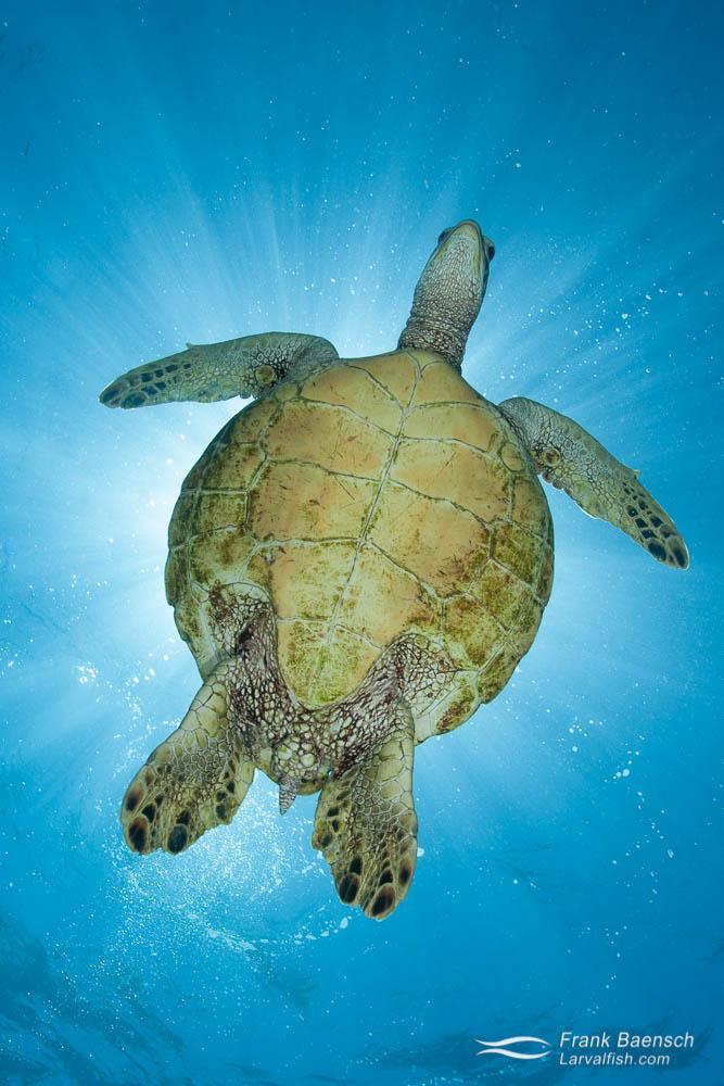 A green sea turtle: (Chelonia mydas) looks down while blocking the sun. Hawaii.