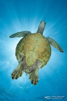 A green sea turtle: (Chelonia mydas) looks down while blocking the sun.