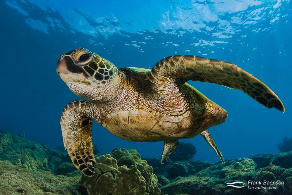 A green sea turtle (Chelonia mydas) up close in Hawaii.