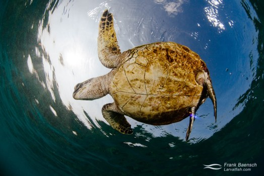 Green sea turtle on the surface.